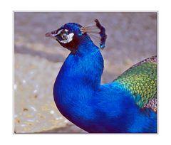 bleu paon du paon bleu