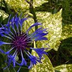 Bleuet centaurée  --  Centaurea montana  --  Berg-Kornblume