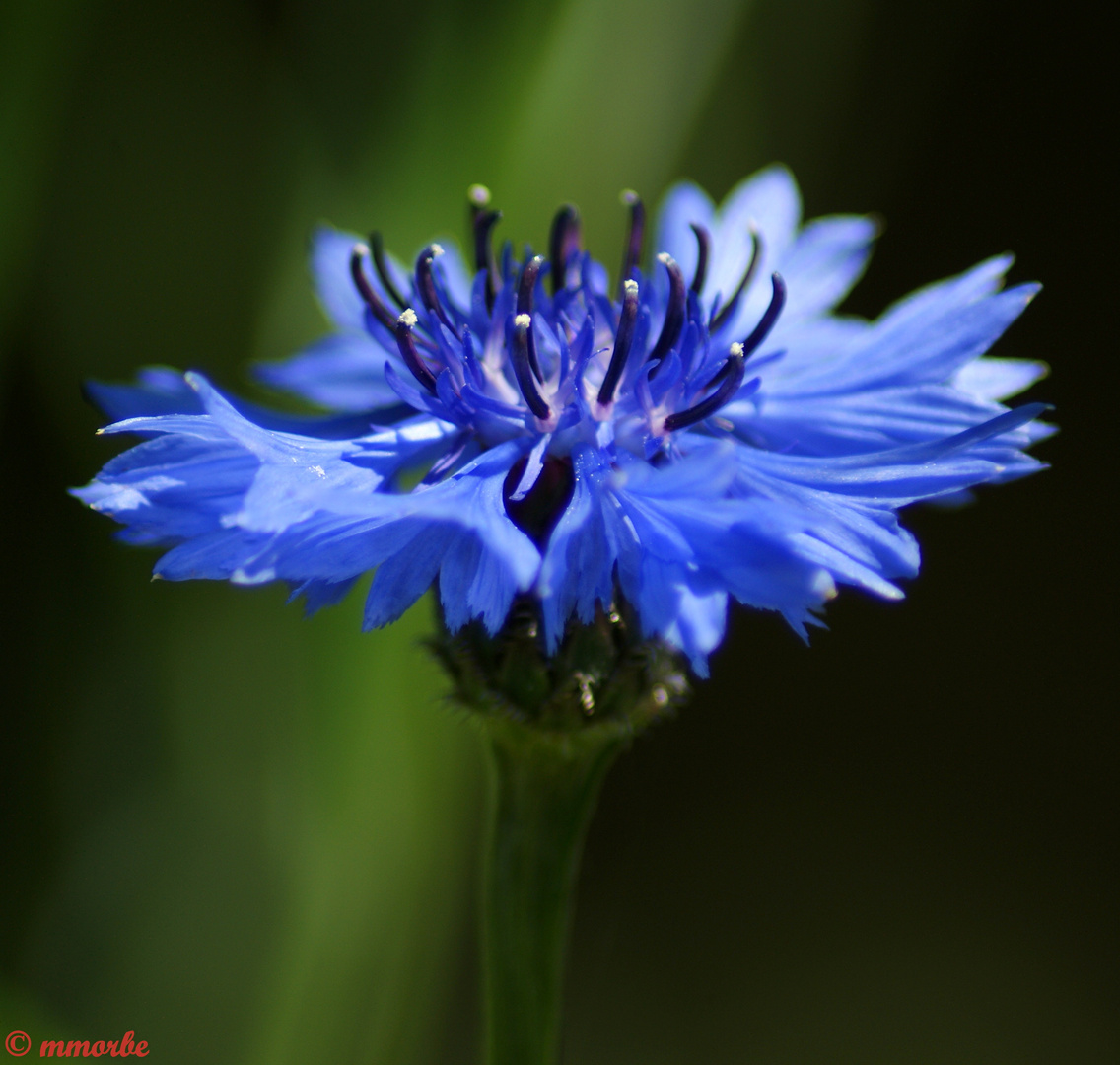 Bleuet