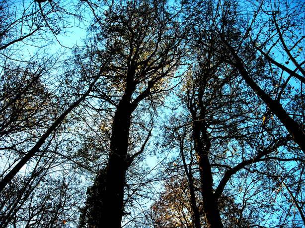 Blick in die Baumkronen der Akazien (Ruschgraben)