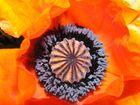 Blick in die Mohnblüte - Konditorkunstwerk