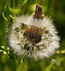 Blick in eine Pusteblume