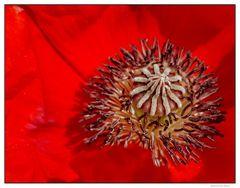 Blick ins Innere einer Mohnblüte