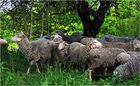 Bliesgau - Schafe