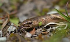 Blindschleiche (Anguis fragilis)