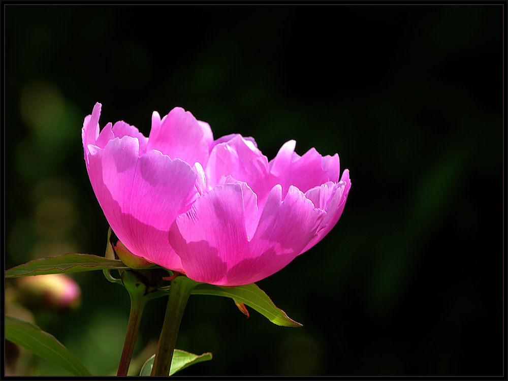 Bloomed in the garden peony