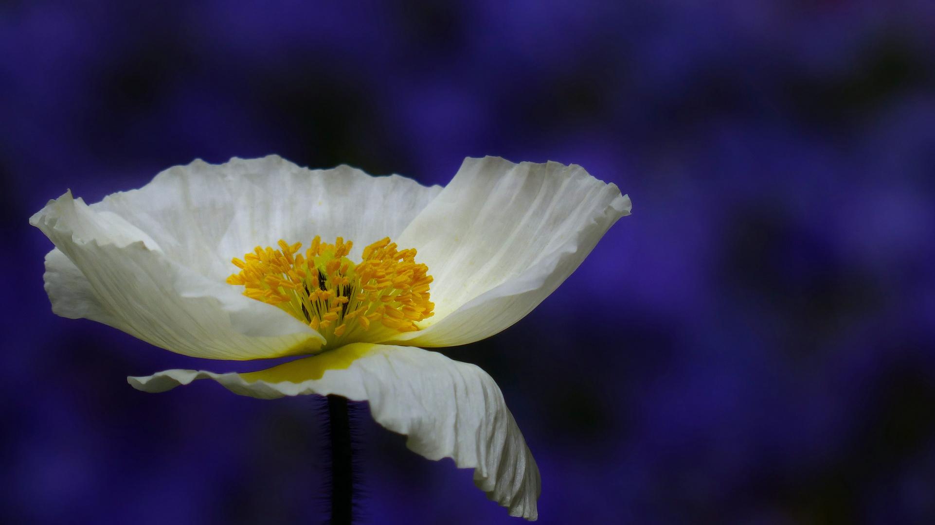 ... blossom
