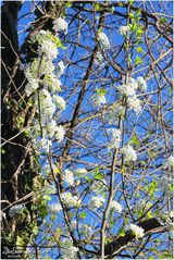 Blossoms of Early Spring - A Mount Vernon Trail Impression
