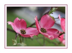 Blossoms of the Dogwood Tree