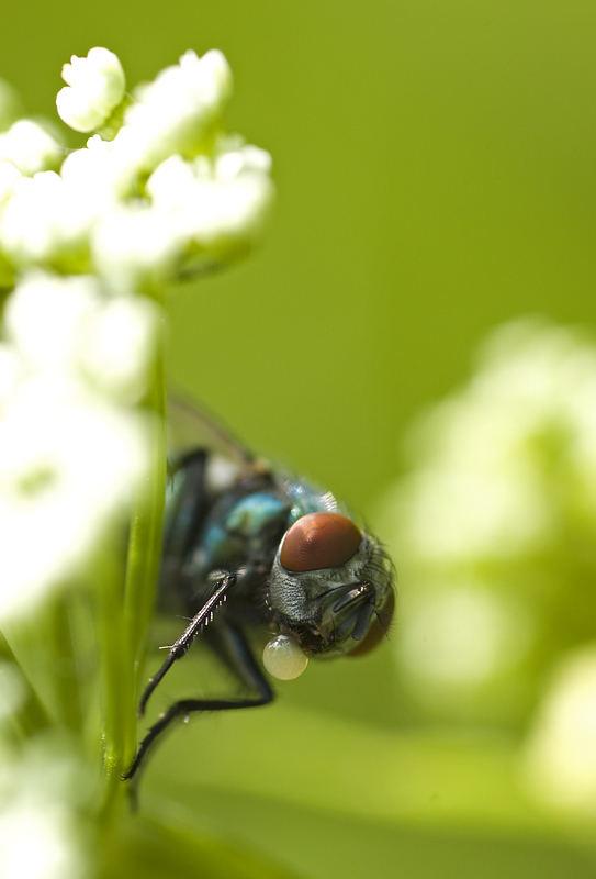 Blub - Fliege macht Bläschen - Makro