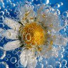 Blubbergänseblümchen