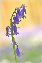 Blue bells - Hallerbos ...