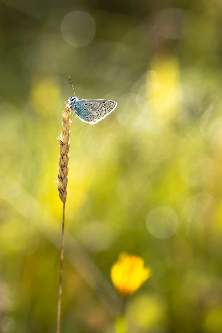 Blue butterfly at sunrise
