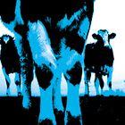Blue cows