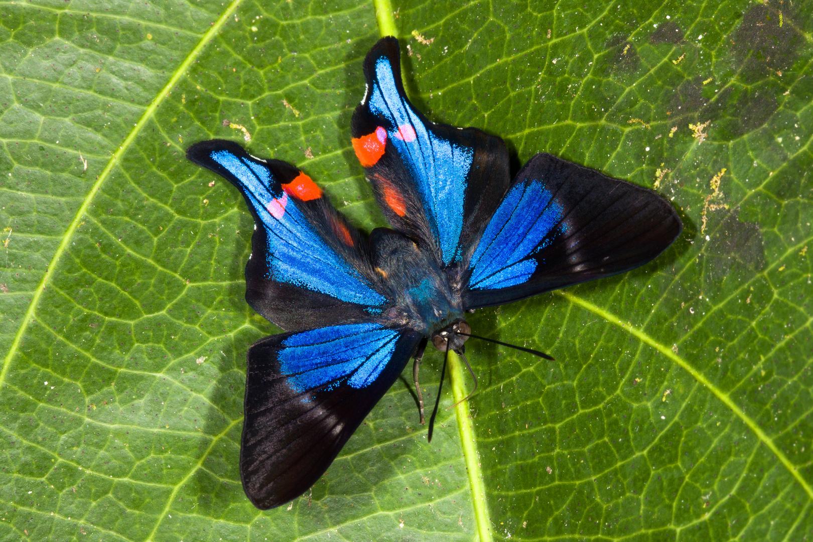 Blue Doctor (Rhetus periander periander)