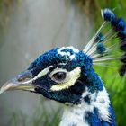 Blue-eyed peacock