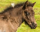 Blue Eyes 25 days Old Pony