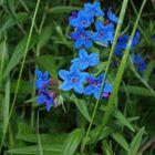 Blue eyes// Buglossoides purpurocaerulea (Aegonychon purpureo-caeruleum (L.) Holub)