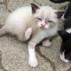 Blue Eyes Cat
