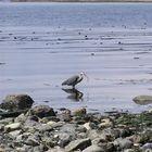 Blue Heron, Strait of Juan de Fuca, BC