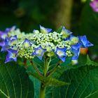 Blue Hortensia Blooms