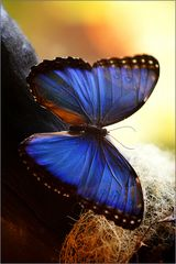 blue morpho / morpho helenor (64-78 mm)