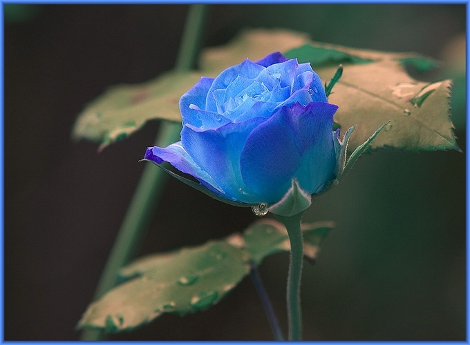 Blue Ros