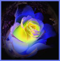 ... blue rose ...