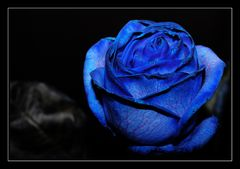 Blue roses 1