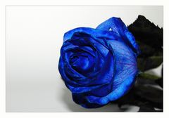 Blue roses 2