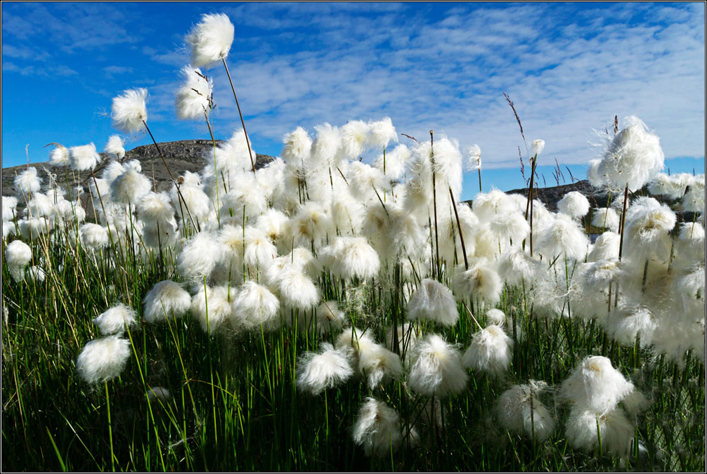 [...Blue sky and cotton gras]