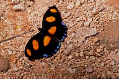 BLUE SPOTTED FIREWING
