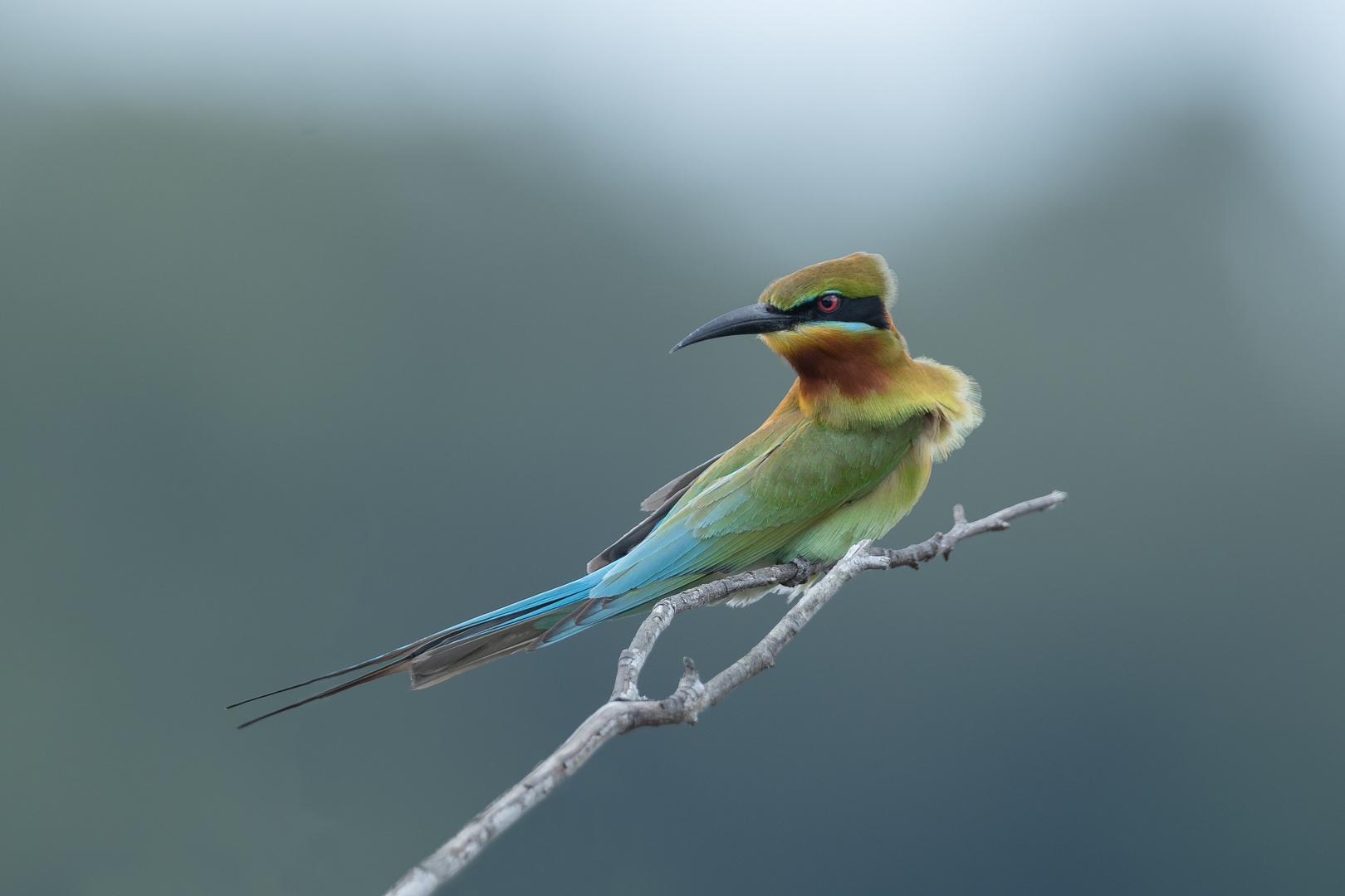 °° Blue-tailed Bee-eater °°
