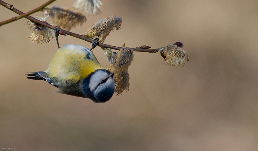 Blue tit doing its exercise