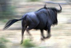 Blue Wildebeest (Gnu) im Balule Nature Reserve, Südafrika