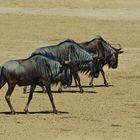 Blue Wildebeest in step