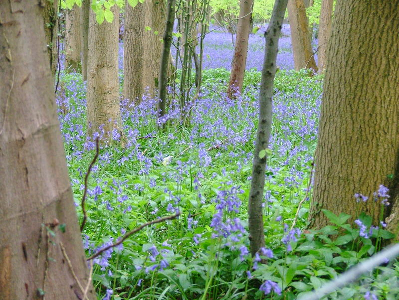 Bluebell Wood 2
