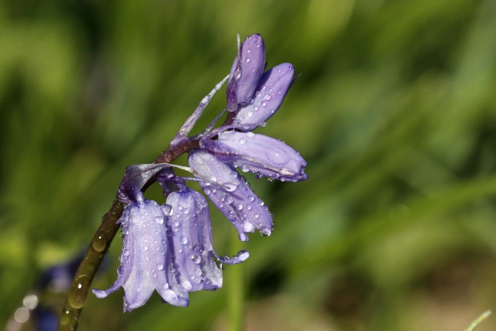 Bluebells (Hyacinthoides)