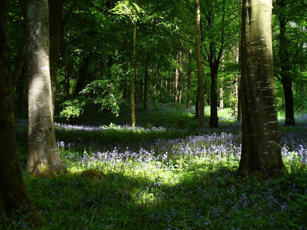 Bluebells in Portglenone Forest