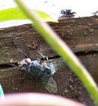 Bluebottle Hide and Seek