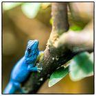 BlueGecko