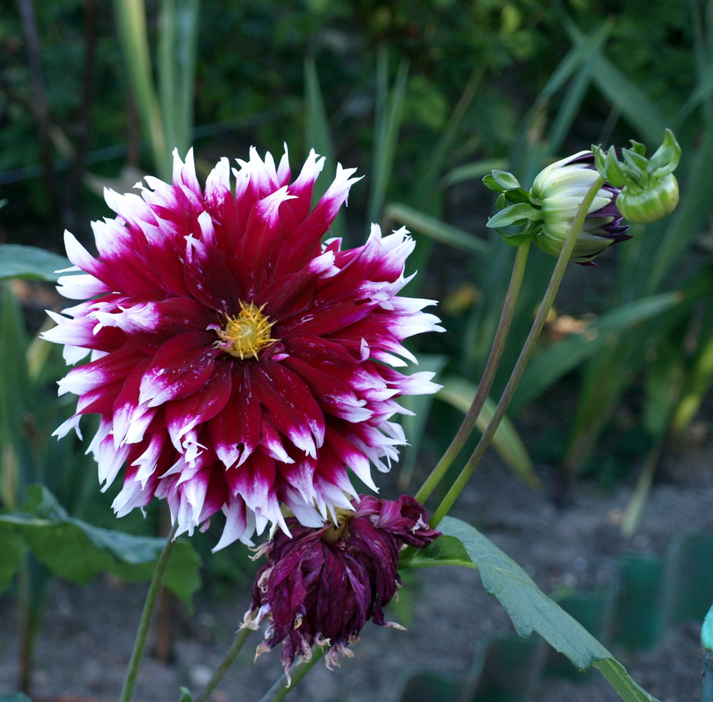 Blühend
