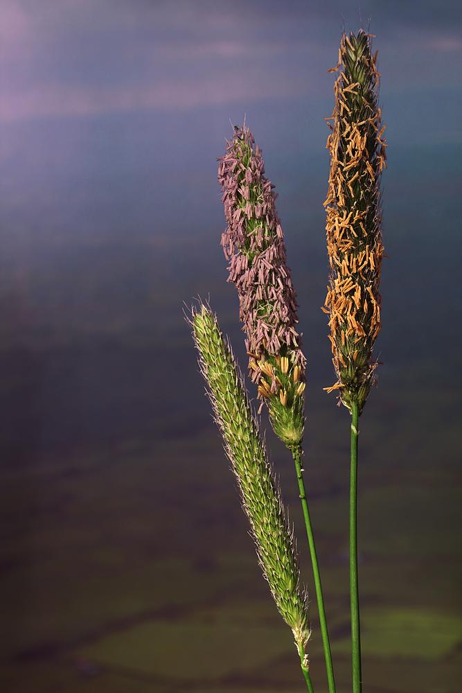blühende Gräser vor irischer Landschaft