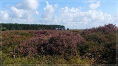Blühende Heide auf Amrum