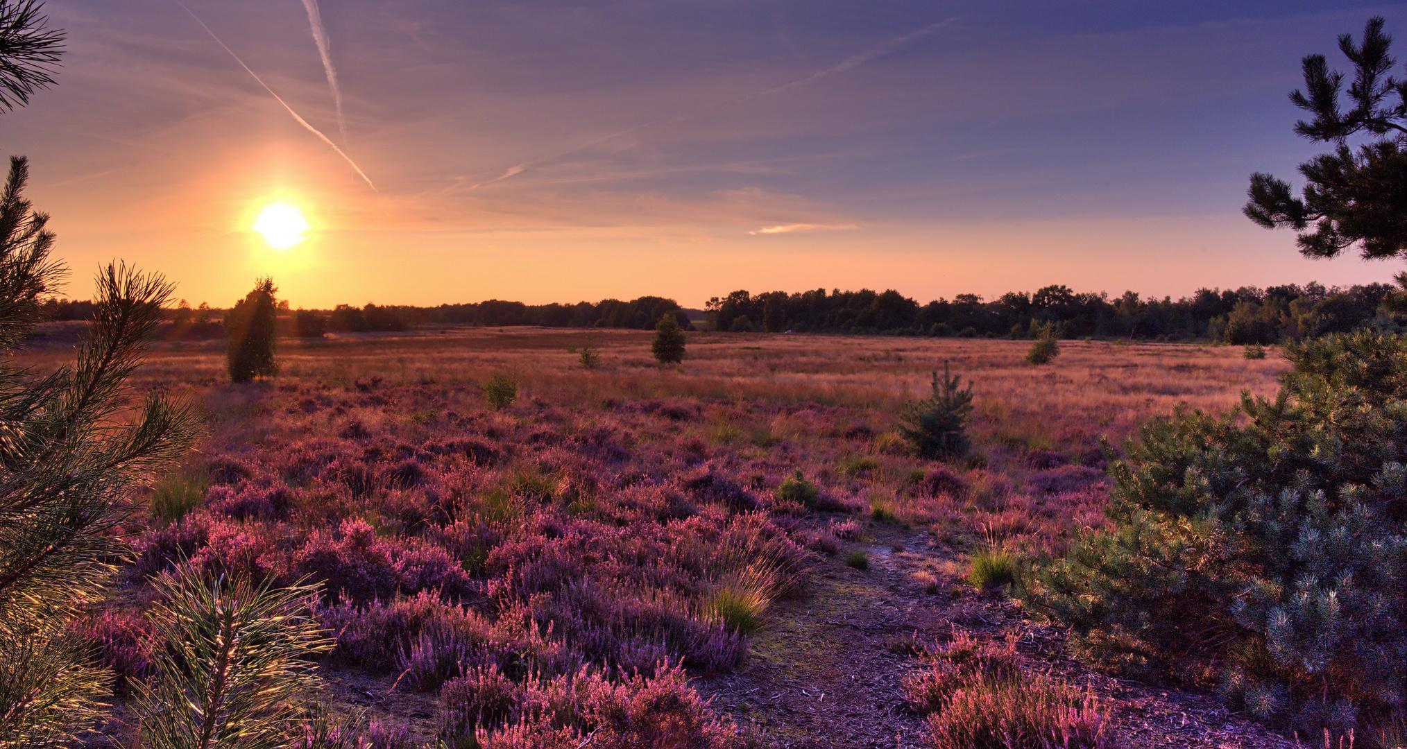 Blühende Heide im Abendlicht