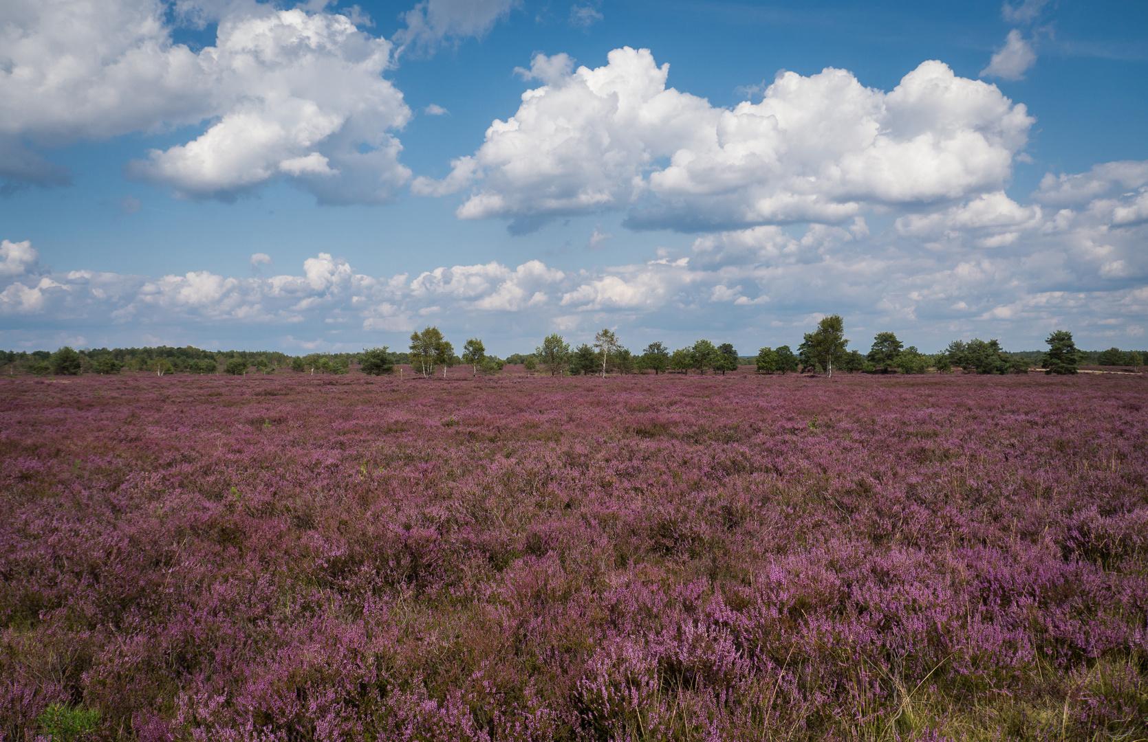 Blühende Heide soweit das Auge reicht