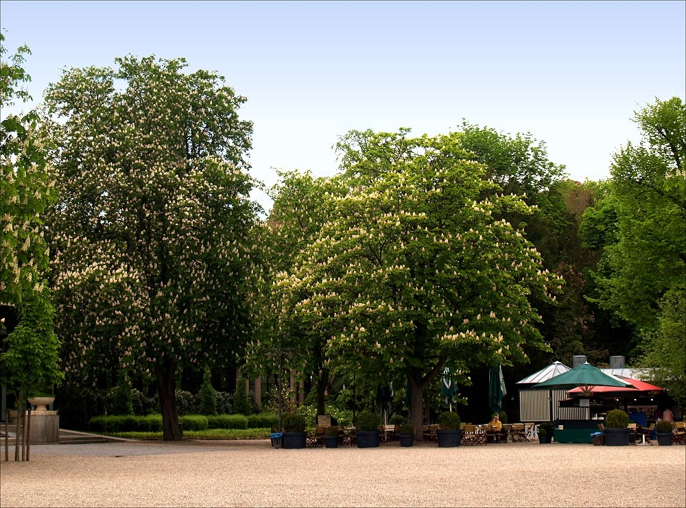 Blühende Kastanienbäume im......