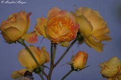 Blühende Rosen am 29. Dezember