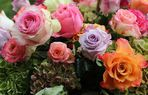 Blühende Rosen im Regen