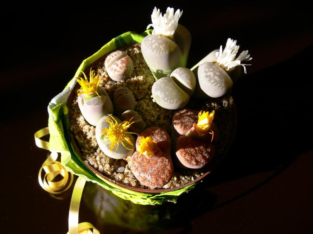 Blühende Steine (1)